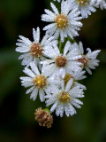 Heath Aster with Dew