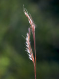 Coastal Little Bluestem