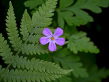 Herb Robert Peeking through a Fern Leaf