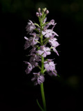 Small Purple-fringed Orchid