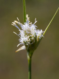 Tawny Cotton Grass