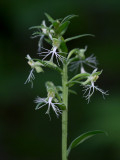 Ragged-fringed Orchid