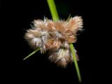 Tawny Cotton Grass