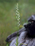 Case's Ladies'-tresses Orchid