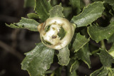 Insect Gall growing on Lemonadeberry