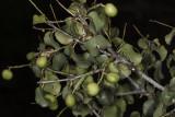 Holly-leaf Cherry (Prunus ilicifolia)