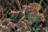 orange-crowned-warbler01.jpg