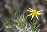 Interior Goldenbush (Ericameria brachylepis)