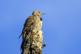 Flickers, Sapsuckers and Woodpeckers