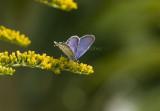 Eastern Tailed-blue male _H9G9168.jpg