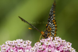 Baltimore Checkerspot _7MK7336.jpg
