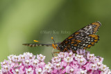 Baltimore Checkerspot _7MK7338.jpg