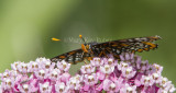 Baltimore Checkerspot _7MK7339.jpg