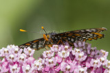Baltimore Checkerspot _7MK7339c.jpg
