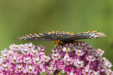 Baltimore Checkerspot _7MK7345.jpg