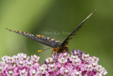 2 Baltimore Checkerspot _7MK7341.jpg