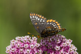 1 Baltimore Checkerspot _7MK7347.jpg