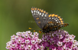 1 Baltimore Checkerspot _7MK7347c.jpg