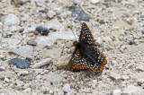 Baltimore Checkerspot _7MK6304.jpg