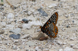 Baltimore Checkerspot _7MK6306.jpg