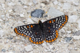 Baltimore Checkerspot _7MK6309.jpg