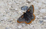 Baltimore Checkerspot _7MK6315.jpg