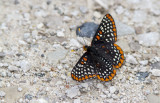 Baltimore Checkerspot _7MK6320.jpg