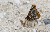 Baltimore Checkerspot _7MK6325.jpg