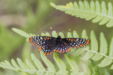 Baltimore Checkerspot _7MK6333.jpg