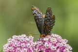Baltimore Checkerspot _7MK7346.jpg