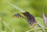 $ Baltimore Checkerspot _7MK4470.jpg
