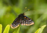 Baltimore Checkerspot _7MK0206.jpg