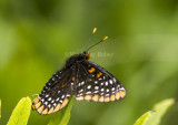 Baltimore Checkerspot _7MK0208.jpg