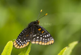 Baltimore Checkerspot _7MK0210.jpg