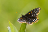 Baltimore Checkerspot _7MK0218.jpg