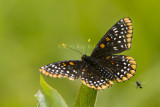 Baltimore Checkerspot _7MK0222.jpg