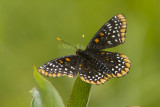 Baltimore Checkerspot _7MK0227.jpg