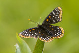 Baltimore Checkerspot _7MK0228.jpg