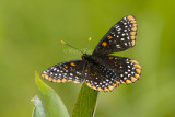 Baltimore Checkerspot _7MK0231.jpg