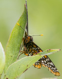 Baltimore Checkerspot _7MK0246.jpg