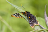 Baltimore Checkerspot _7MK4469c.jpg