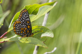 Baltimore Checkerspot _7MK7328.jpg