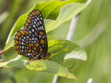 Baltimore Checkerspot _7MK7329.jpg