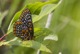 Baltimore Checkerspot _7MK7331.jpg