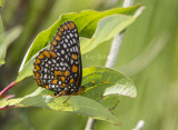 Baltimore Checkerspot _7MK7334.jpg