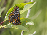 Baltimore Checkerspot _7MK7335.jpg