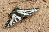 Canadian Tiger Swallowtail _7MK6007.jpg