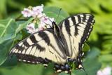 Canadian Tiger Swallowtail _7MK6627.jpg
