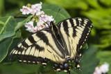 Canadian Tiger Swallowtail _7MK6634.jpg