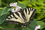 Canadian Tiger Swallowtail _7MK6635.jpg